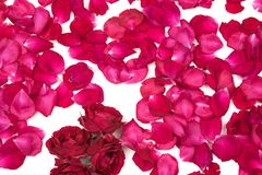 Rose Petals background. Red rose petals background texture royalty free stock image