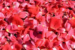 Rose petals bathed in spring rain drops. Important anniversaries and holidays to remember and share stock photography