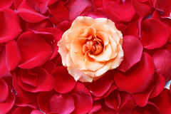 Rose in Petals. Close up of rose on the top of rose petals stock photos