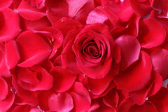 Rose in Petals. Close up of rose on the top of rose petals royalty free stock image