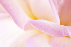 Rose petals closeup. Valentine day holiday card Stock Photos
