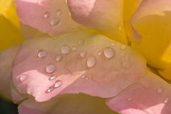 Rose petals with dewdrops Stock Photos