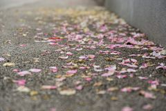 Rose petals on the road. Slovakia royalty free stock photos