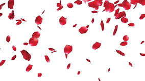 Rose petals Falling, against white, stock footage stock video