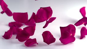 Rose petals falling down stock video