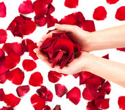 Rose petals in female hands Royalty Free Stock Photos