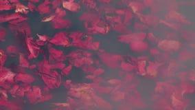 Rose Petals Float On Steaming vatten stock video