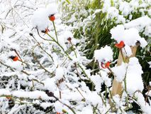 Rose without petals flowers covered by with snow Conceptual gentle romantic background with shallow depth of field stock images