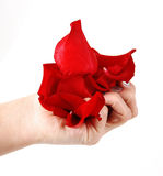 Rose petals in hand. Isolated on a white background stock images