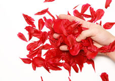 A rose petals in a hand. Isolated. Hand hold a rose petals in a hand. Isolated royalty free stock photography