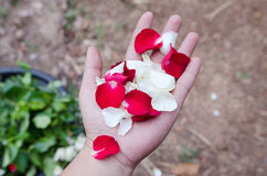 Rose petals in hand Royalty Free Stock Photos