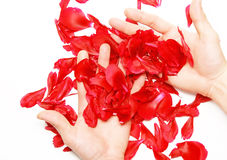 A rose petals in a hands. Isolated. Hands hold a rose petals in a hand. Isolated stock photography