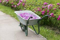 Rose petals harvest. In garden Stock Photo