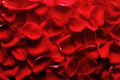 Rose petals. Heap of red rose petals background royalty free stock photo