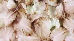 Rose petals. Close up background stock image