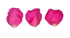 Rose petals isolated Royalty Free Stock Photography