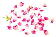 Rose petals isolated. On white background Stock Photos