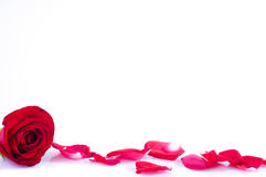 Rose with petals and large copy space Royalty Free Stock Photos