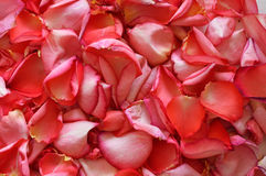 Rose-petals. A lot of pink rose-petals Royalty Free Stock Photo