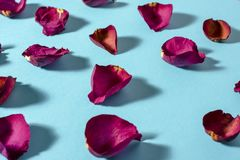 Rose petals maroon color on blue background. Photo with shadows stock images