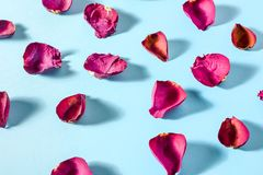 Rose petals maroon color on blue background. Photo with shadows royalty free stock image