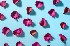Rose petals maroon color on blue background. Photo with shadows stock photography