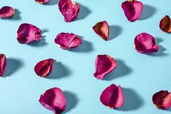 Rose petals maroon color on blue background. Photo with shadows royalty free stock photos