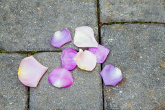 Rose Petals On The Morning After. Already fading rose petals on worn paving stones walked by yesterday's bride juxtaposes freshness against the presence of Stock Photos