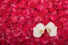 Rose petals and orchids Royalty Free Stock Image