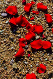 Rose Petals On Pebbles Stock Photo