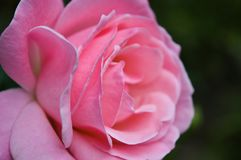 Pink Rose Closeup. Pure love - a perfect pink rose blooms in an autumn rose garden closeup on petals stock images