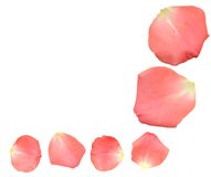 Rose petals. Pink rose petals isolated on white background royalty free stock photos