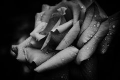 Rose Petals After The Rain in Black and White Royalty Free Stock Photography