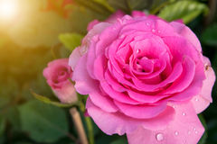 Rose petals with rain drops. Royalty Free Stock Image