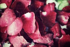 Rose petals. Stock Photography
