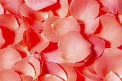 Rose petals. Red rose petals close up stock image