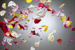Rose petals Stock Photo