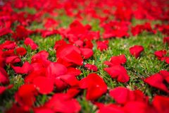 Rose petals on the road. In the grass royalty free stock photos