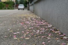 Rose petals on the road. Slovakia. Rose petals fallen on the road on the street. Slovakia royalty free stock photography