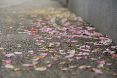Rose petals on the road. Slovakia stock photos