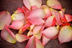 Rose Petals rose Photographie stock libre de droits
