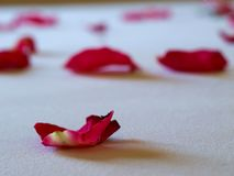 The rose petals. Was fallen on the bed stock photos