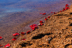 Rose Petals On Shoreline Stock Image