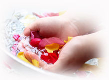 Rose petals for spa. Hands with Rose petals for spa stock photos
