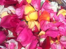 Colorful Pink and Yellow Rose Petals. Rose petals sprinkled in a basket bring a feeling of romance royalty free stock photography