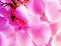Rose petals textured, elegant seasons, celebration vintage background stock image