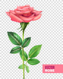 Rose And Petals Transparent Set. Realistic tender blooming pink rose with beautiful petals and green stalk and leaves on transparent background vector Royalty Free Stock Images