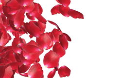 Rose petals Trasition, left to right, against white, stock footage. Video vector illustration