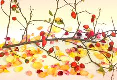 Rose petals and a tree branch on a clean background. Flowers royalty free stock photo