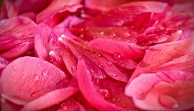 Rose petals and water Royalty Free Stock Images
